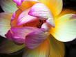 Fototapete Wasser - Lily - Wasserpflanze