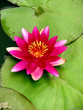 Fototapete Lily - Lotus - Wasserpflanze