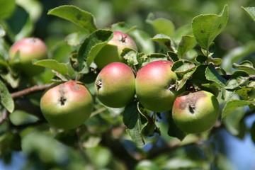 apfelbaum mit knackigen früchten