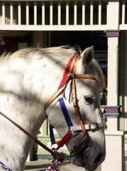 patriotic equine
