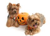 halloween yorkshire terriers poster