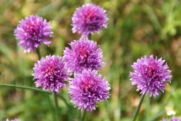 lila alpenblume