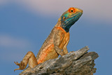ground agama poster
