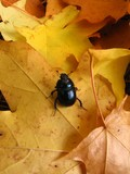gold leaves and beetle poster