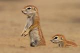 ground squirrels poster