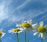 wildflowers camomile and clouds poster