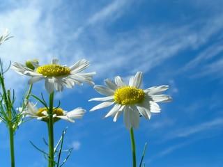 camomile on blue sky
