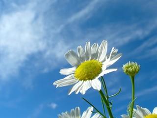 flower ox-eye daisy and sky