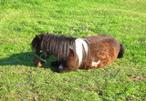 pony lying on meadow