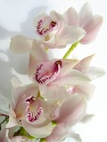 Fototapety lovely pink orchid