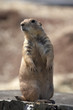 black tailed prairie marmot
