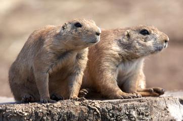 black tailed prairie marmot