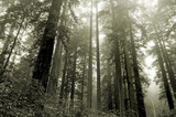 redwoods in the fog poster