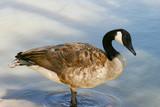 canada goose poster