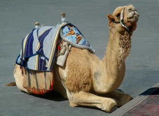 camel chillin'