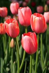 pink tulilps