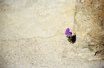 persistent pansy