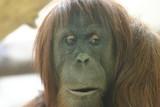 orangutan mom poster