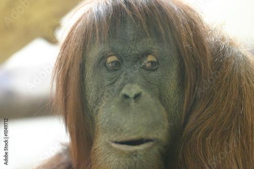 poster of orangutan mom