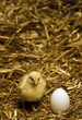 one day old chick with egg