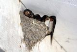 swallow feeding nestling poster