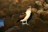blue footed booby on lava rock