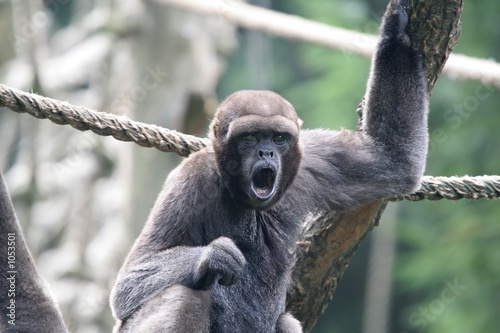 Poster woolly monkey