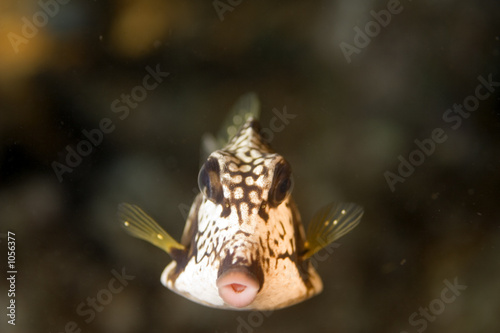 poster of smooth trunk fish