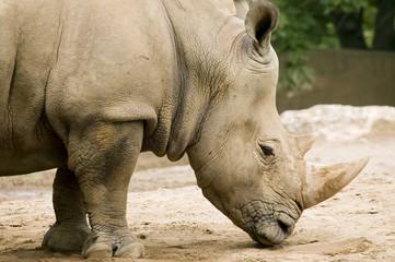 white rhinoceros - ceratotherium simum