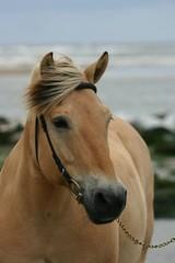 beautiful fjord horse