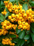 yellow berries on a showy bush poster