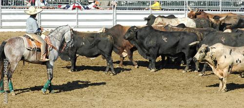 Leinwandbild Motiv cowboy and herd of rodeo bulls