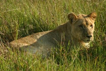 portrait of an african lion