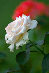 white rose of summer