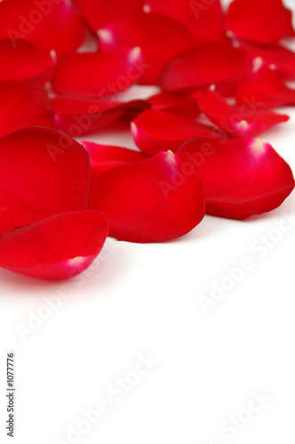 red rose petals with copyspace