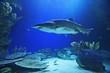 Quadro shark