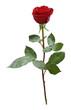 rose freigestellt