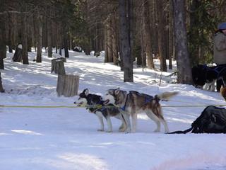huskie dogs sledding