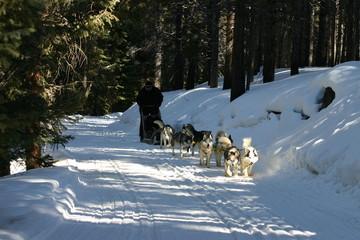 sled dog,huskie,dog,sledding,dogsledding,tiger roa