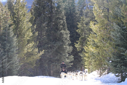 sled dog,huskie,dog,sledding,dogsledding,tiger roa