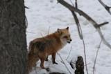 red fox,fox,mammal,animal,big bear,big bear lake,c poster