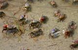 sand crabs,sand,crabs,crustaceans,atlantic ocean,o poster