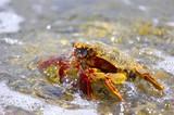 bathing crab poster