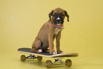 pup on skateboard
