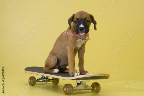 pup on skateboard