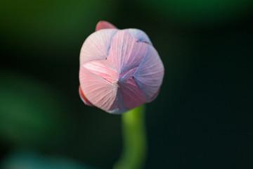 hong kong lotus (hkdigit-060624-170645)