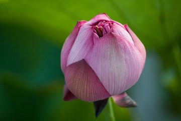 hong kong lotus (hkdigit-060624-165645)