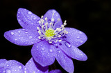 violet flower poster