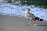 seagull with attitude on beach poster