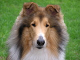 collie dog portrait poster